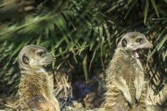 海岛猫鼬类 免版税图库摄影