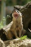 海岛猫鼬类suricatta 库存图片