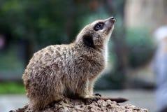 海岛猫鼬类suricatta 免版税库存图片