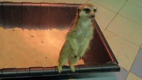 海岛猫鼬类suricatta Meerkat在动物园里 股票视频