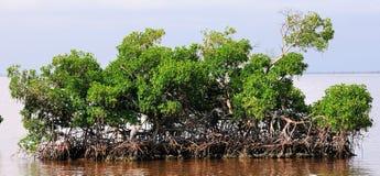 海岛美洲红树 图库摄影