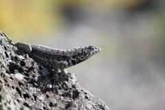 海岛蜥蜴南广场的岩石 免版税库存照片