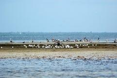 海岛鹈鹕海鸥 免版税库存照片