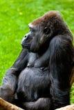 海岸大猩猩 库存照片