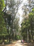 海岸撑柳树 这是达卡,孟加拉国植物园的图片  库存图片
