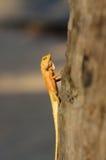 海岸线黄色亚洲庭院蜥蜴Calotes versicolour顶饰树蜥蜴有在树的蓝色背景与plam事假 免版税库存照片