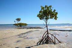海岸美洲红树海运结构树 库存照片