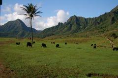 海岸kualoa北部奥阿胡岛大农场 免版税库存图片