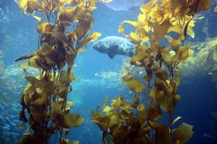 海带森林 库存照片