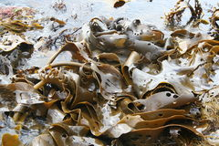 海带海洋 免版税库存照片