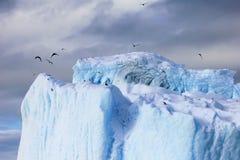 海带鸥和北极燕鸥飞行和坐冰山,南极半岛 图库摄影