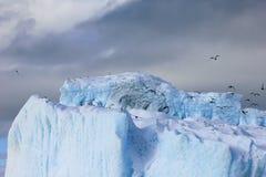 海带鸥和北极燕鸥飞行和坐冰山,南极半岛 库存图片