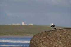 海带鸥 库存照片