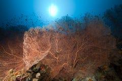 海底扇和热带水下的寿命。 库存照片