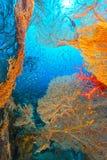 海底扇和glassfish在红海 库存照片