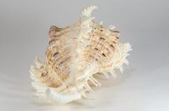 从海底的海壳 免版税库存照片