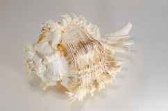 从海底的海壳 免版税图库摄影