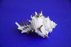 黑海异乎寻常的壳  免版税库存照片