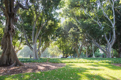 海德公园无花果树 库存图片