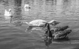 海德公园-天鹅和鸭子在黑白 图库摄影