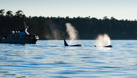 海怪吹的虎鲸,鲸鱼看守人 晚上剪影 库存照片