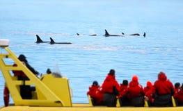 海怪虎鲸游泳荚,与在前景的鲸鱼观看的小船,维多利亚,加拿大 免版税图库摄影