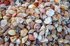 海扇壳。 免版税图库摄影