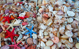 海扇壳。 图库摄影