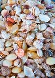 海扇壳。 免版税库存照片