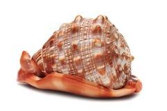 海扇壳 免版税库存图片