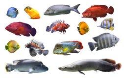 海拼贴画和河钓鱼在被隔绝的白色背景的异乎寻常的鱼 免版税库存照片