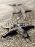 海星遗产 免版税图库摄影