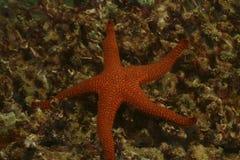 海星, Mabul海岛,沙巴 库存照片