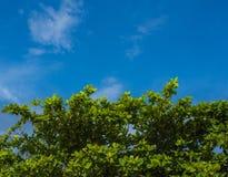 海杏仁或热带杏仁(Terminalia新鲜的绿色叶子  免版税库存照片