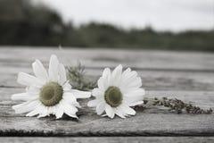海母菊 免版税图库摄影
