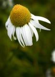 海母菊 库存图片