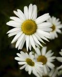 海母菊 免版税库存照片