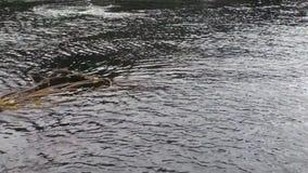 海泥和海藻在太平洋镇静水在阿拉斯加 股票录像