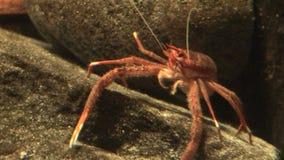 海洋人生的螃蟹在水生环境-录影高定义里 股票录像
