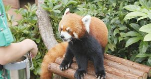 海洋公园,香港, 2017年12月09日:-等待t的红熊猫 库存图片
