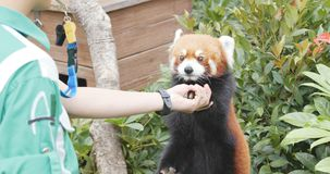 海洋公园,香港, 2017年12月09日:-给手的红熊猫 免版税库存照片