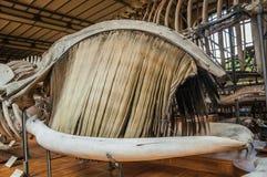海洋哺乳动物的骨骼在大厅的古生物学和比较解剖学画廊的在巴黎 免版税库存照片
