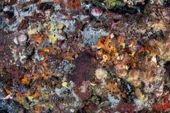 海洋无脊椎变化在礁石的在印度尼西亚 库存照片