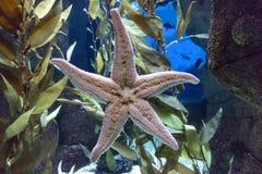 海洋星 免版税库存照片