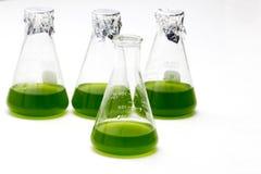 海洋浮游生物或微藻类文化到Erlenmayer烧瓶里 免版税图库摄影