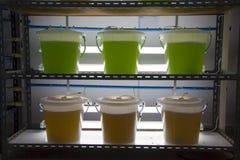 海洋浮游生物文化在科学实验室 图库摄影