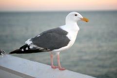 海洋海鸥 库存图片