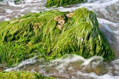 海洋的海藻 库存照片
