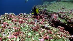 海洋鱼水下的盐水湖背景的潜水者加拉帕戈斯的 影视素材
