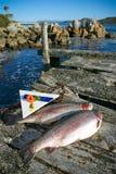 海洋鳟鱼 库存照片